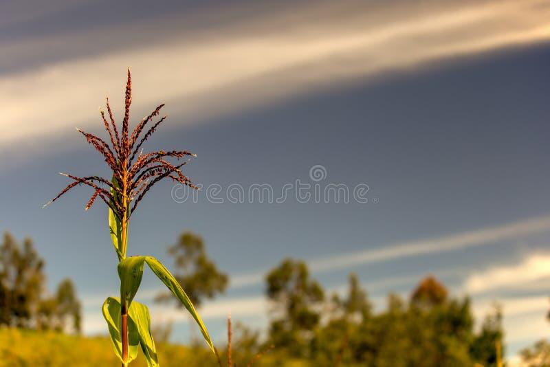 Λουλούδι καλαμποκιού ενάντια στον ουρανό ξημερωμάτων στοκ εικόνα με δικαίωμα ελεύθερης χρήσης