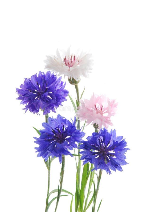 λουλούδι καλαμποκιού στοκ εικόνα