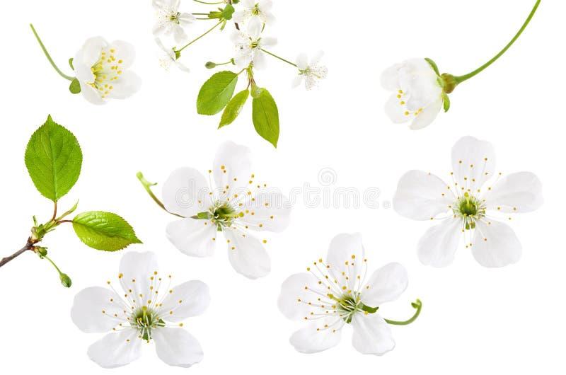Λουλούδι κερασιών που απομονώνεται στο άσπρο υπόβαθρο Σύνολο ανθίζοντας άνθους κερασιών άνοιξη, κλάδου και πράσινων φύλλων στοκ εικόνα