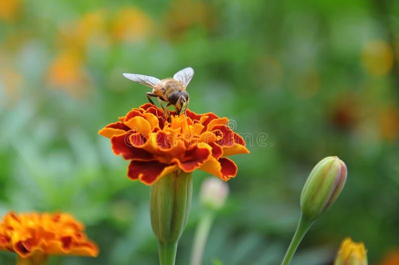 λουλούδι κηφήνων στοκ εικόνα με δικαίωμα ελεύθερης χρήσης