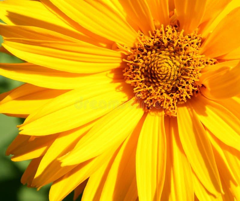 λουλούδι κινηματογραφήσεων σε πρώτο πλάνο κίτρινο στοκ φωτογραφίες