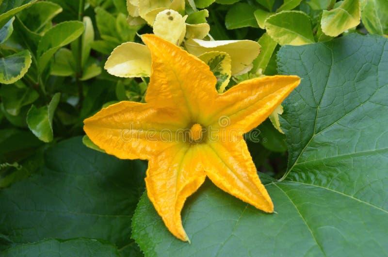 Λουλούδι κολοκύνθης Crookneck στοκ εικόνες