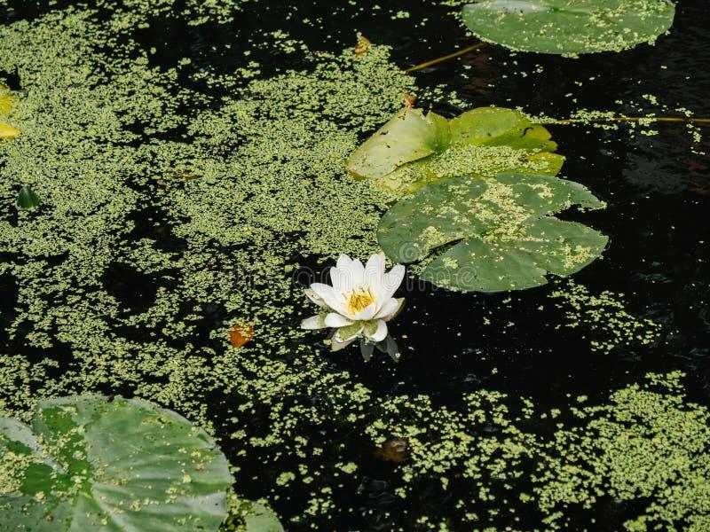Λουλούδι κρίνων νερού στην ήρεμη θερινή ημέρα νερού λιμνών στοκ εικόνα