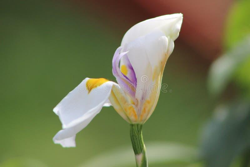 Λουλούδι κρίνων στην ακτή της λίμνης στοκ εικόνες