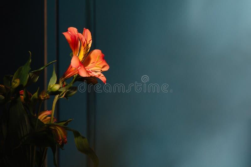 Λουλούδι κρίνων στο σκοτεινό υπόβαθρο Κάρτα συλληπητήριων κενό διάστημα αντιγράφων στοκ φωτογραφίες