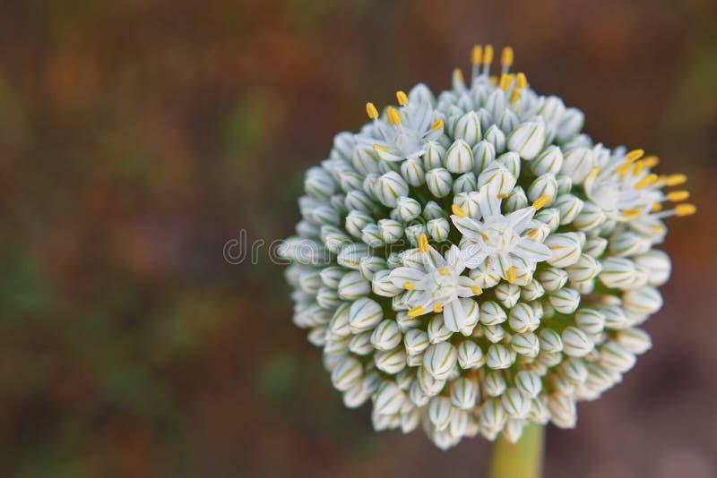 Λουλούδι κρεμμυδιών στη globular μορφή στοκ εικόνες
