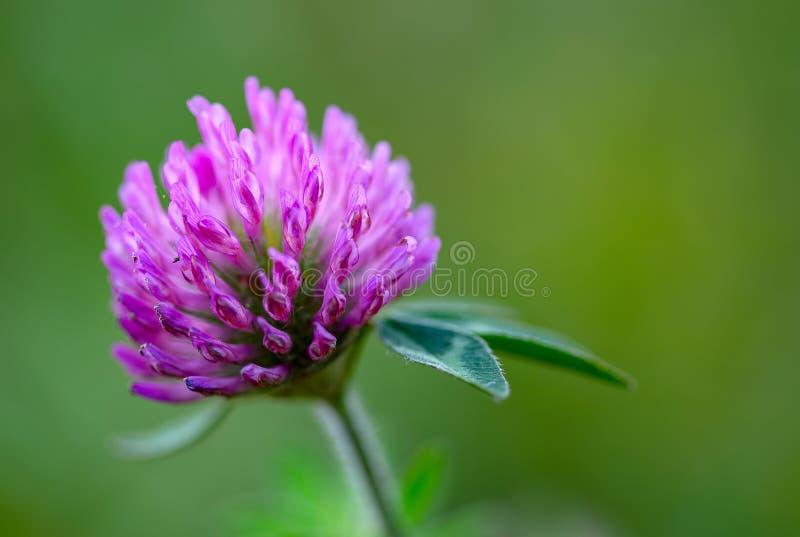 Λουλούδι κόκκινου τριφυλλιού στο πράσινο κλίμα στοκ εικόνα