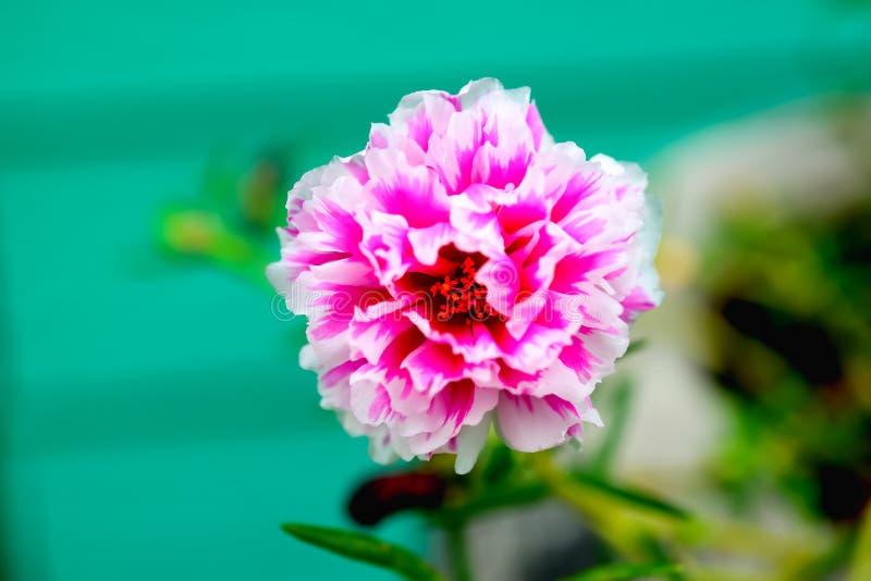 Λουλούδι κόκκινου φωτός στοκ εικόνα με δικαίωμα ελεύθερης χρήσης