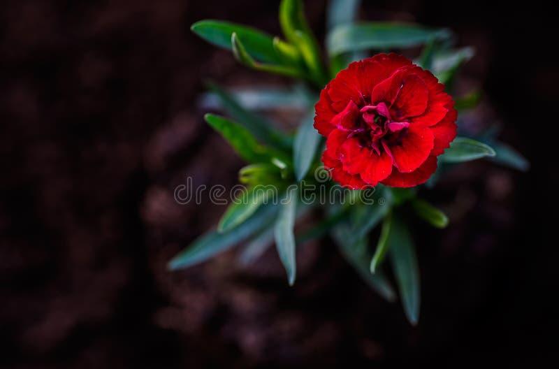 Λουλούδι, κόκκινο γαρίφαλο στοκ φωτογραφία