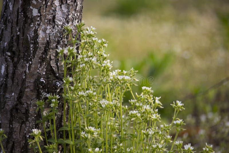 Λουλούδι λάχανων στοκ φωτογραφία