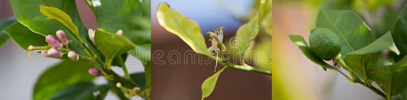Λουλούδι λεμονιών και κολάζ καρπού στοκ φωτογραφία