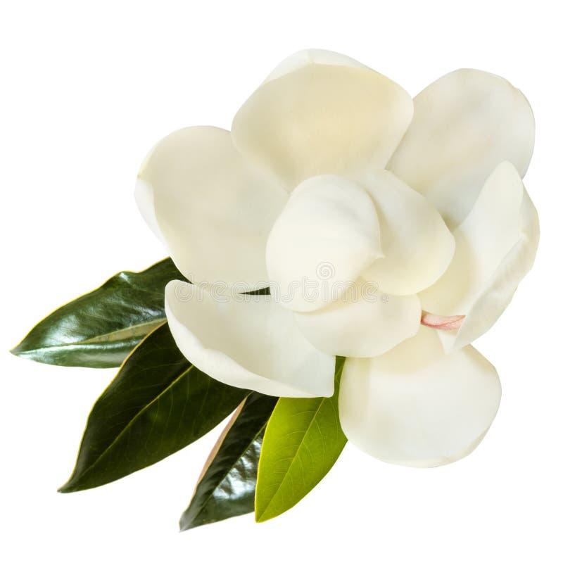 Λουλούδι Μανόλια απομονωμένο σε λευκό επάνω μέρος στοκ εικόνα