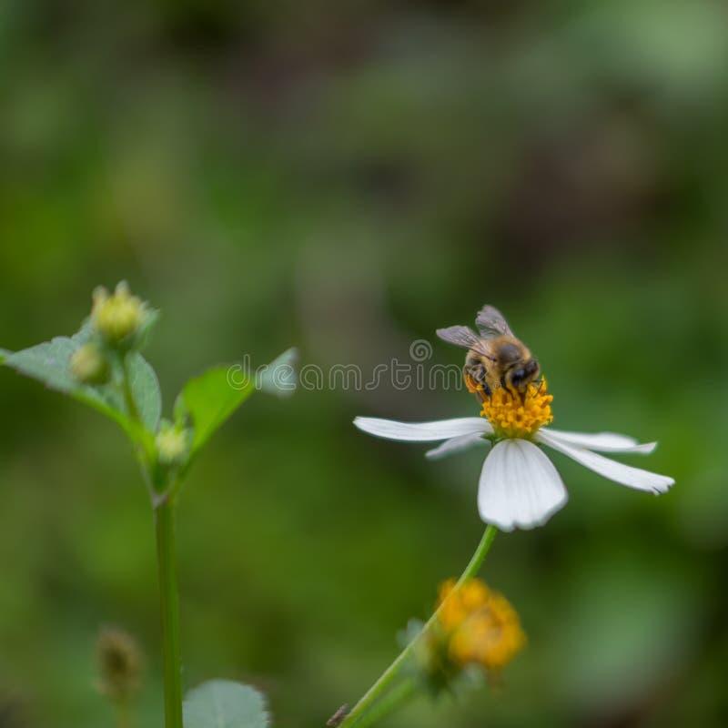 Λουλούδι μελισσών και μαργαριτών που λαμβάνεται από τη μακροεντολή στοκ εικόνα με δικαίωμα ελεύθερης χρήσης