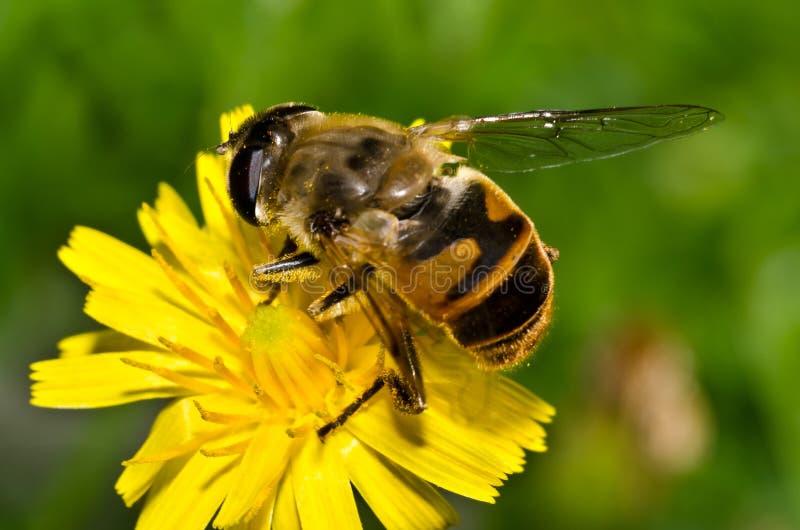 λουλούδι μελισσών στοκ εικόνα