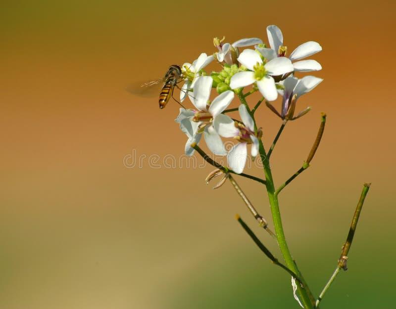 Download λουλούδι μελισσών στοκ εικόνες. εικόνα από wildlife, ανασκόπησης - 386328