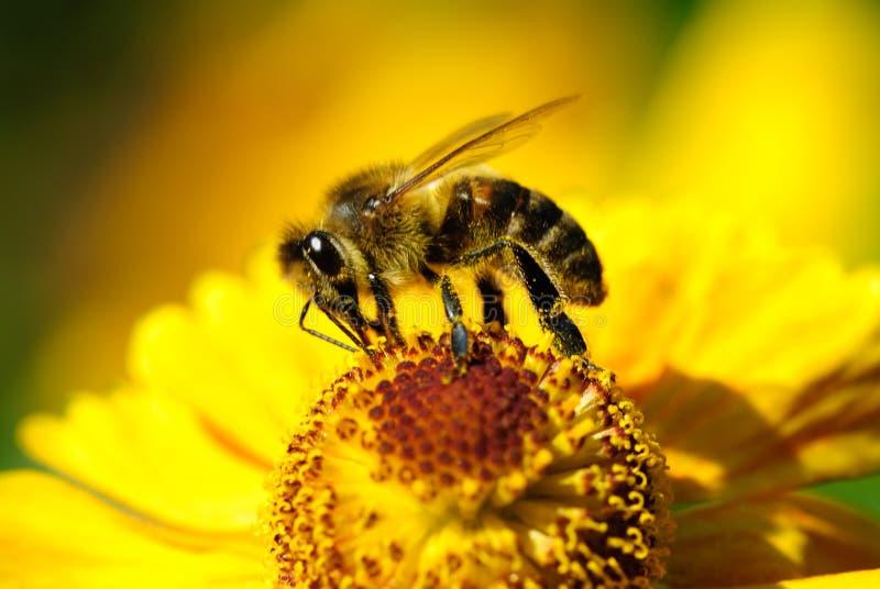 λουλούδι μελισσών στοκ φωτογραφία