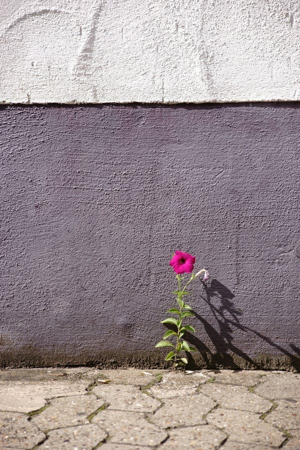 Λουλούδι μεταξύ των πετρών διάβασης πεζών στοκ εικόνες με δικαίωμα ελεύθερης χρήσης