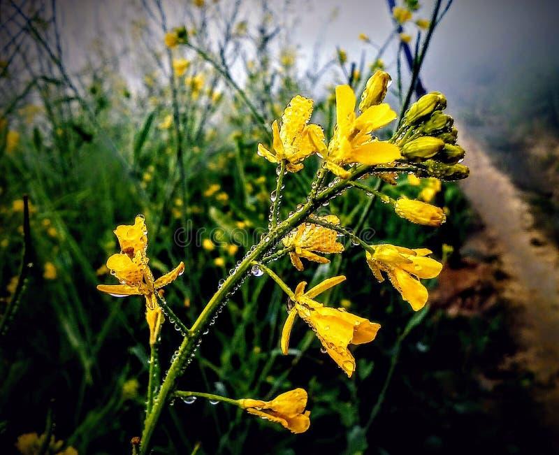 Λουλούδι μουστάρδας με τη δροσιά στοκ φωτογραφίες με δικαίωμα ελεύθερης χρήσης