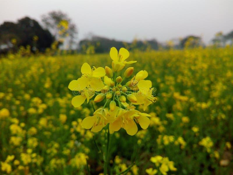 Λουλούδι μουστάρδας στοκ φωτογραφίες
