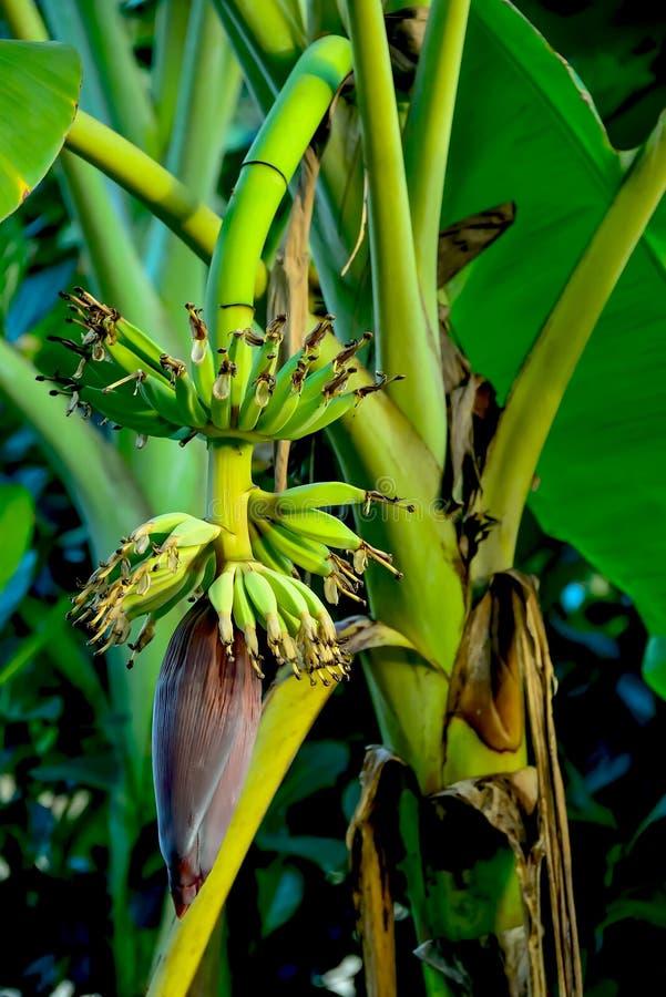 Λουλούδι μπανανών στοκ εικόνα