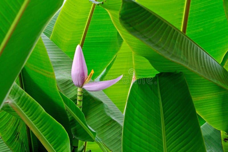 Λουλούδι μπανανών στοκ φωτογραφία
