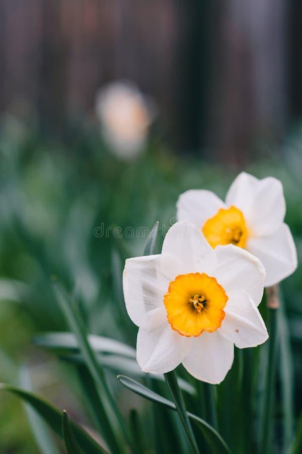 Λουλούδι ναρκίσσων Λουλούδια ναρκίσσων daffodil και πράσινη πεταλούδα υποβάθρου φύλλων συμπαθητική στοκ φωτογραφία με δικαίωμα ελεύθερης χρήσης
