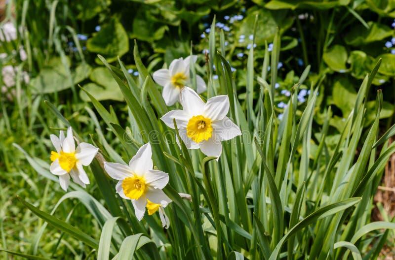 Λουλούδι ναρκίσσων Λουλούδια ναρκίσσων daffodil και πράσινο υπόβαθρο φύλλων στοκ εικόνες με δικαίωμα ελεύθερης χρήσης
