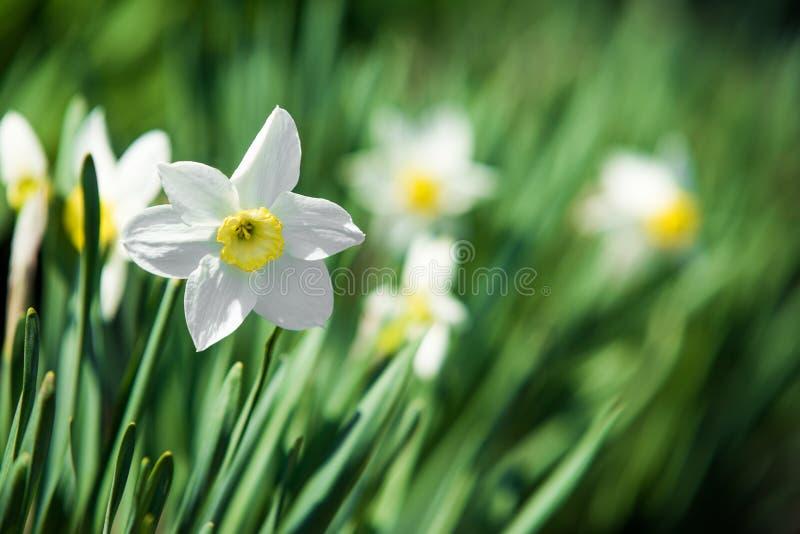 Λουλούδι ναρκίσσων Υπόβαθρο λουλουδιών και φύλλων ναρκίσσων daffodil στοκ φωτογραφίες με δικαίωμα ελεύθερης χρήσης
