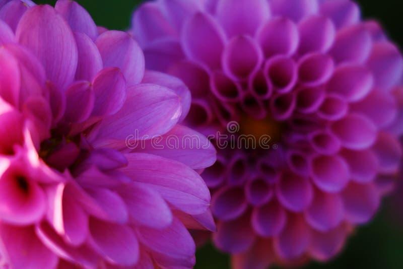 Λουλούδι νταλιών pom pom flowerhead Πορφυρή ντάλια του Εδιμβούργου στοκ φωτογραφία
