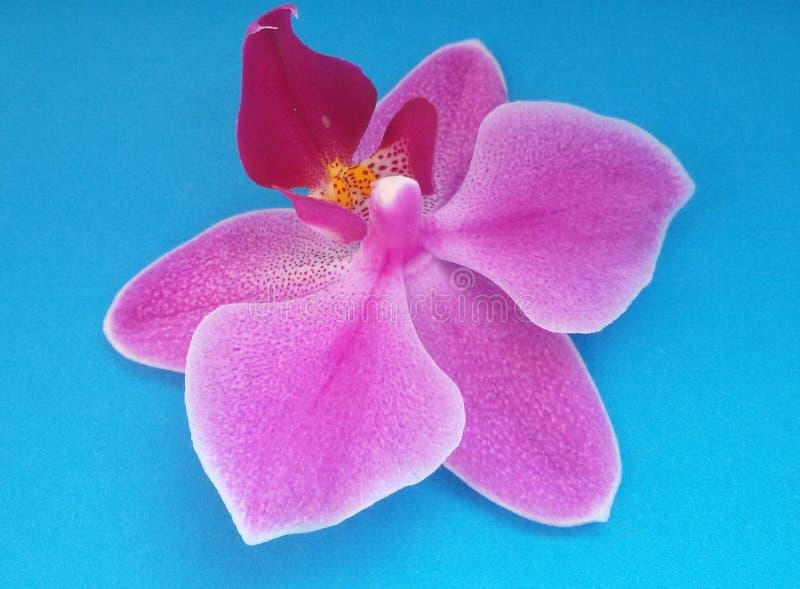 Λουλούδι ορχιδεών πέρα από το μπλε υπόβαθρο όμορφο άνθος Πέρα από το μπλε στοκ εικόνες