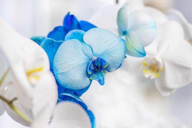 Λουλούδι ορχιδεών στον κήπο Όμορφη μπλε ορχιδέα Ορχιδέα Phalaenopsis Μπλε λουλούδια - μπλε ορχιδέες στοκ φωτογραφία με δικαίωμα ελεύθερης χρήσης
