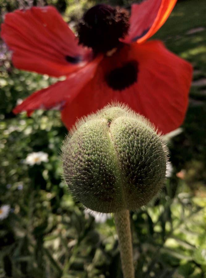 Λουλούδι παπαρουνών και κάψα σπόρου στοκ εικόνα με δικαίωμα ελεύθερης χρήσης