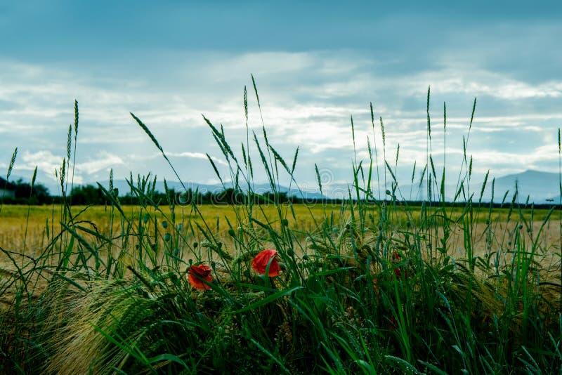 Λουλούδι παπαρουνών μπροστά από έναν τομέα και έναν νεφελώδη ουρανό στοκ εικόνες