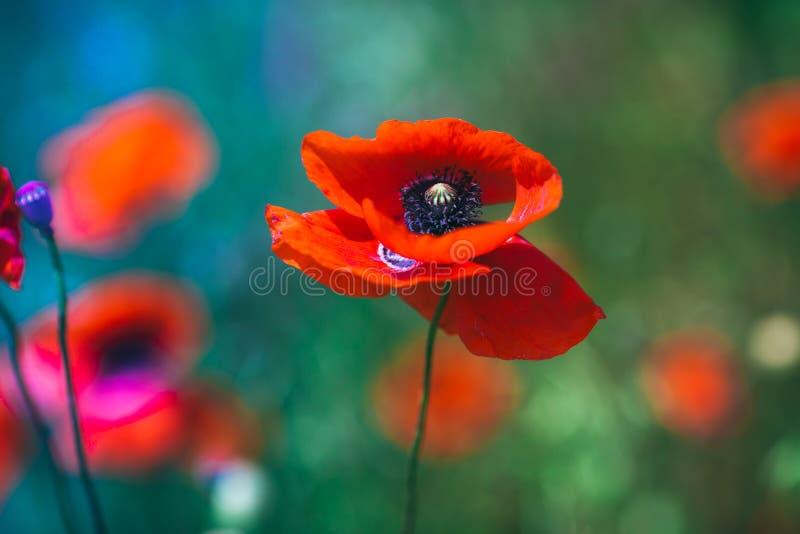 Λουλούδι παπαρουνών σε έναν τομέα στα χρώματα νέου στοκ φωτογραφία με δικαίωμα ελεύθερης χρήσης