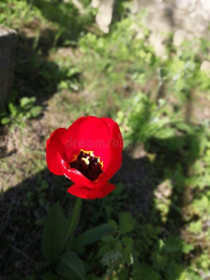 Λουλούδι παπαρουνών την άνοιξη στοκ εικόνες