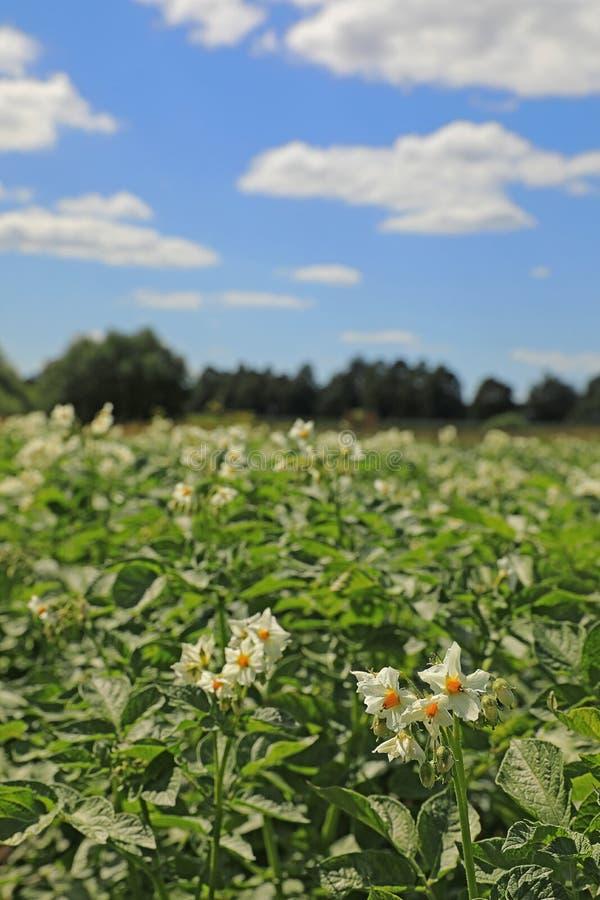 Λουλούδι πατατών Ανθίζοντας τομέας πατατών στοκ εικόνα με δικαίωμα ελεύθερης χρήσης