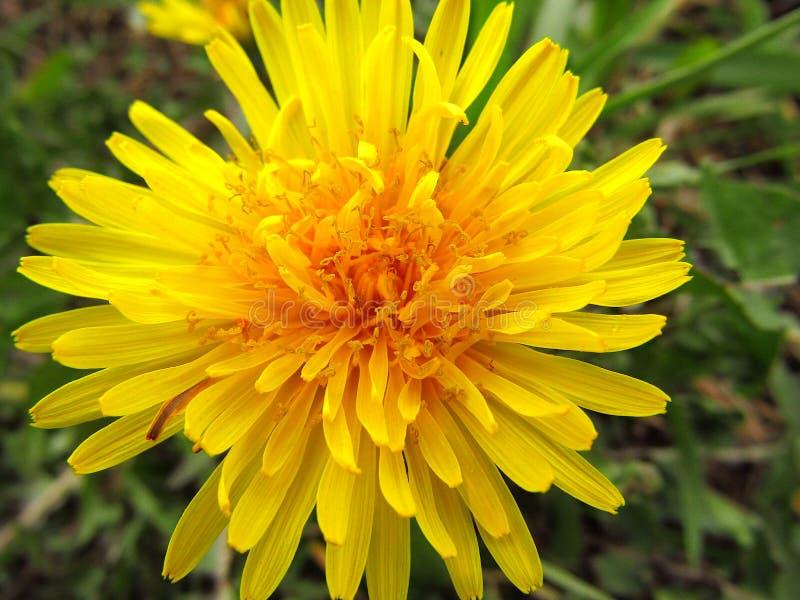 Λουλούδι πικραλίδων Ιατρική Naturist r στοκ φωτογραφία