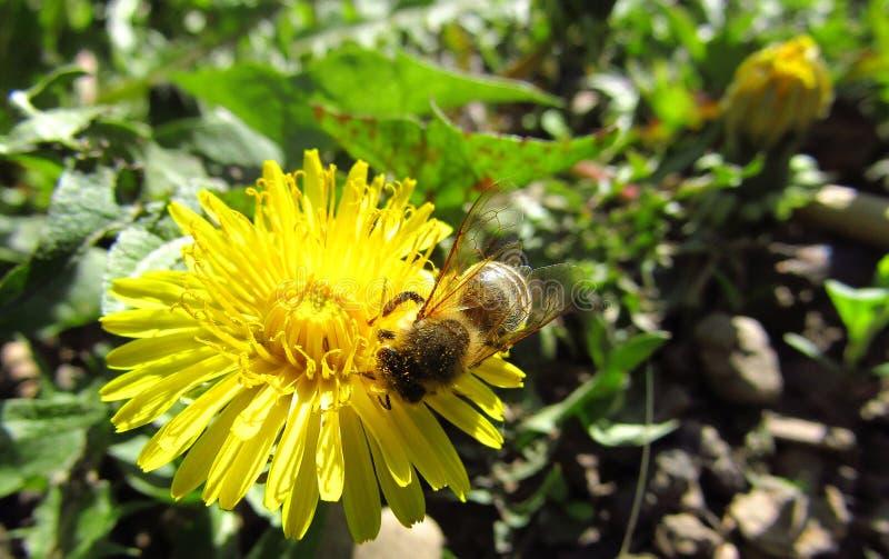 Λουλούδι πικραλίδων με τη μέλισσα που συλλέγει τη γύρη r στοκ εικόνα με δικαίωμα ελεύθερης χρήσης