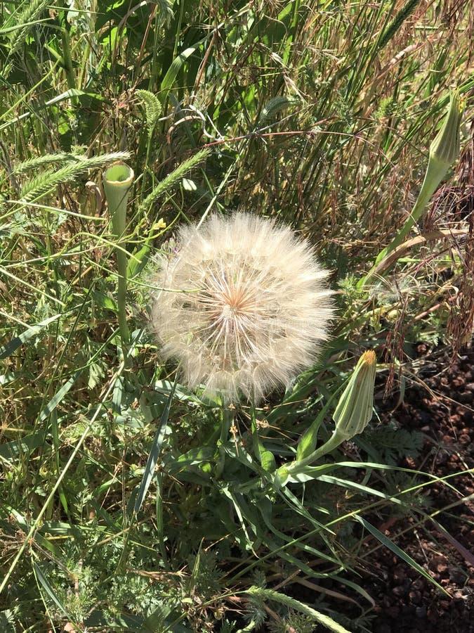Λουλούδι πικραλίδων που είναι έτοιμο να φυσήξει μακριά στοκ φωτογραφία με δικαίωμα ελεύθερης χρήσης