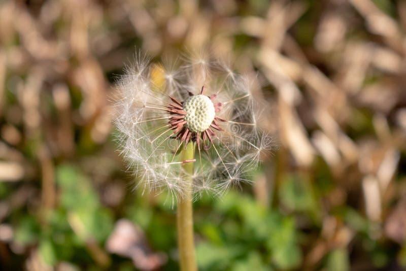 """Λουλούδι πικραλίδων που φυσιέται κατά Ï""""Î¿ ήμισυ στο ναυπηγείο στοκ φωτογραφία με δικαίωμα ελεύθερης χρήσης"""