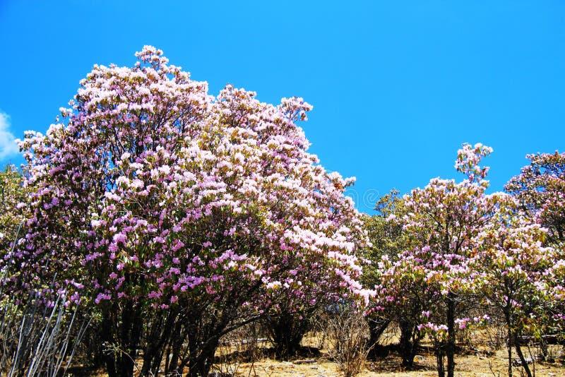 Λουλούδι, πορφυρό λουλούδι, αζαλέα, azalees στοκ εικόνα με δικαίωμα ελεύθερης χρήσης