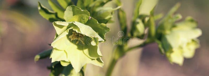 Λουλούδι, πράσινο λουλούδι στον κήπο, ανοιξιάτικο πανό στοκ φωτογραφία με δικαίωμα ελεύθερης χρήσης