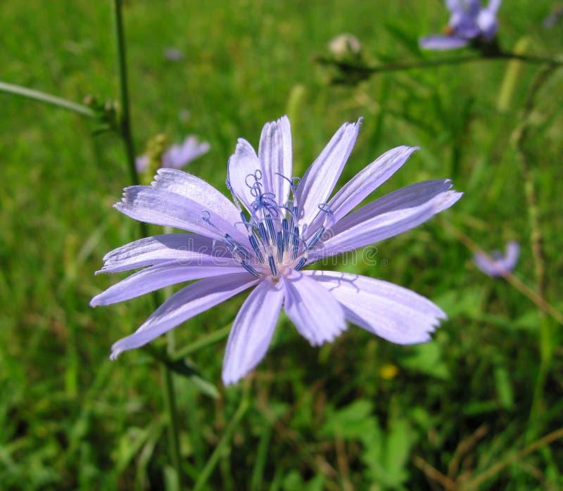 λουλούδι ραδικιού στοκ φωτογραφίες με δικαίωμα ελεύθερης χρήσης