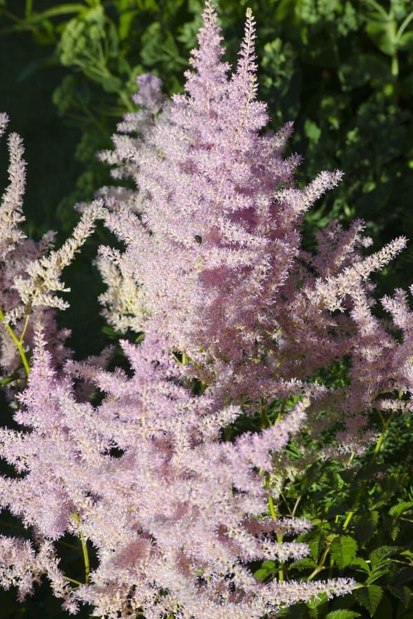 Λουλούδι ρόδινου Astilbe στοκ φωτογραφία