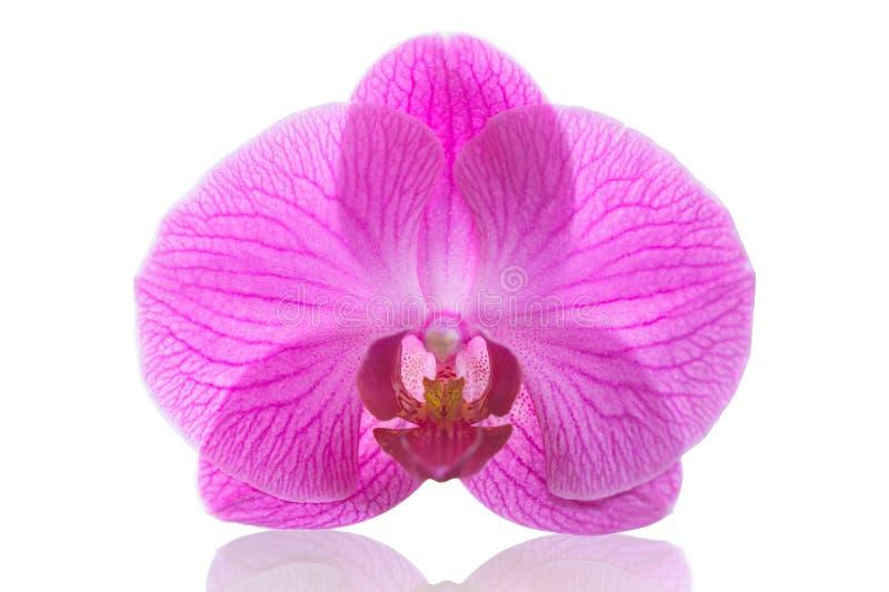 Λουλούδι ρόδινο dendrobium Phalaenopsis ορχιδεών ή σκώρων που απομονώνεται στοκ εικόνα