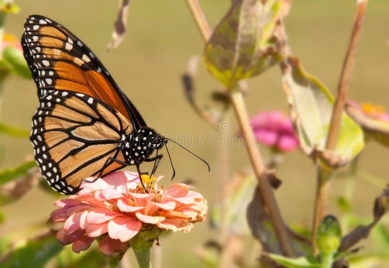 λουλούδι σίτισης πεταλούδων πανέμορφος μονάρχης στοκ φωτογραφίες