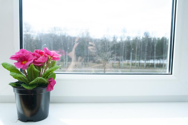 Λουλούδι σε ένα δοχείο στο windowsill, ρόδινο primula στοκ εικόνες με δικαίωμα ελεύθερης χρήσης