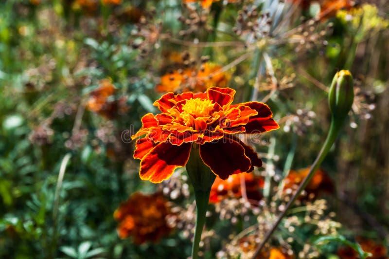 Λουλούδι στην κινηματογράφηση σε πρώτο πλάνο μίσχων Χρώμα πυρκαγιάς στοκ εικόνα με δικαίωμα ελεύθερης χρήσης