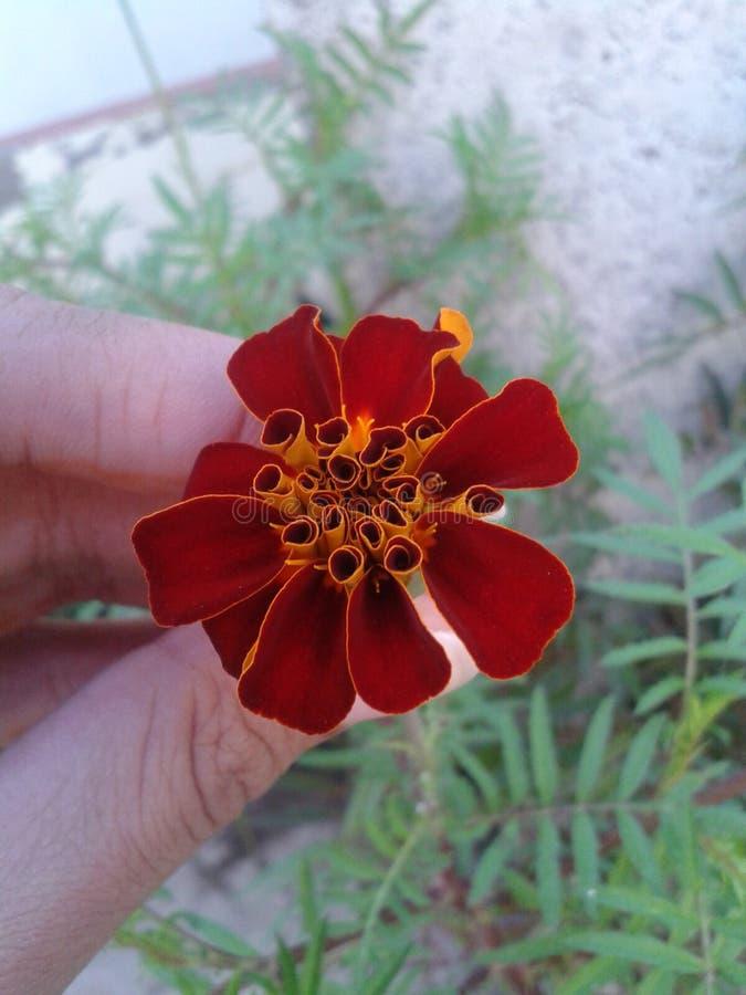Λουλούδι στον κήπο μου στοκ φωτογραφίες με δικαίωμα ελεύθερης χρήσης