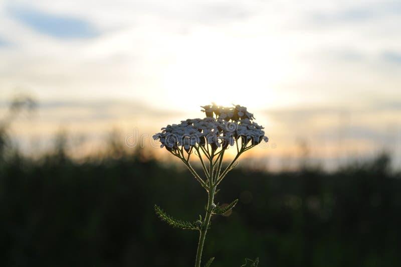 Λουλούδι στο φως ηλιοβασιλέματος στοκ εικόνα με δικαίωμα ελεύθερης χρήσης